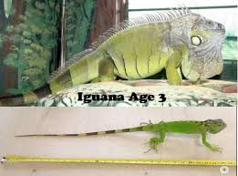 Why Isnt My Iguana Growing Big Our Reptile Forum