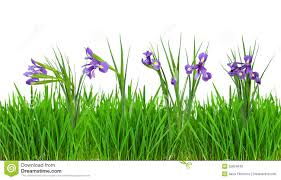 grass and flowers border. Wonderful Flowers Iris Flowers In Grass Border Isolated On White For Grass And Flowers Border D