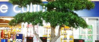 podacarpus cloud artificial tree planted in an unusual white plant container large