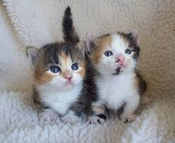 calico kittens for sale. Simple Sale Calicomunchkins 1 For Calico Kittens Sale E