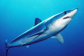 Samoan Fish Chart Shortfin Mako Shark Wikipedia