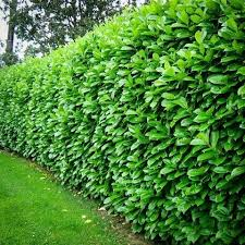 Cherry English Laurel Mature Hedge | Fast growing | Some claim zone 5  hardiness: | outdoor home design | Pinterest | Gardens, Yards and Garden  ideas