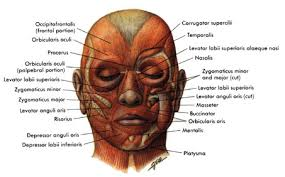 face anatomy faith anatomy muscles of the face