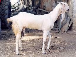 Dairy Goat Breed In India Jamunapari Goat Sheep Farm