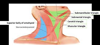 Anterior Triangle Of Neck Submental And Muscular Triangles