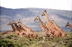 Image of: Dogs Its Official Giraffes Added To Endangered Species List Under Threat Of Extinction The Science News Reporter Its Official Giraffes Added To Endangered Species List Under