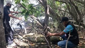 สุราษฎร์ธานี – ไม้เทียนทะเลถูกลักลอบตัดตามเกาะต่าง ๆ  ส่งขายนายทุนใหญ่ทำบอนไซ – GMOS