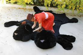 one of a kind hand made two headed teddy bear skin rugs approximately 7ft x 4 and 1 2ft reeeal fake fur cow bengal tiger
