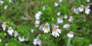 eyebright extract tincture in eyes