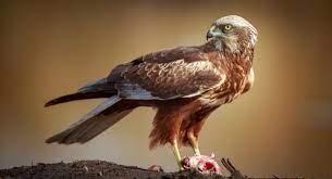 14 Majestic Harrier Birds - Not Only Birds