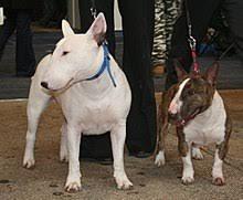 miniature bull terrier. Brilliant Miniature Bull Terier I Bull Miniatura D46jpg In Miniature Terrier