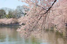 cherry blossom festival dc cherry blossom wallpaper flower wallpaper cherry blossoms travel