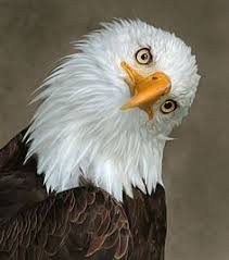 bald eagle template bald eagle tilt blank template imgflip