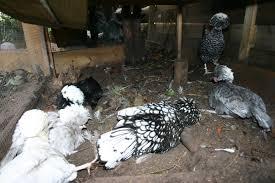 Kippen Hebben Een Zandbak Nodig