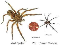 how to kill spiders in house. Spiders In The House Size Comparison Of Brown Recluse Wolf Can Kill You How To E