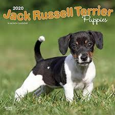 Jack Russell Terrier Puppies 2020 Square Wall Calendar New