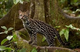 ocelot size ocelot wild cats