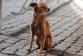 Resultado de imagem para cachorro pequenos de raça