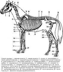 Скелет животных фото Общая характеристика скелета животных Общая  Скелет животных