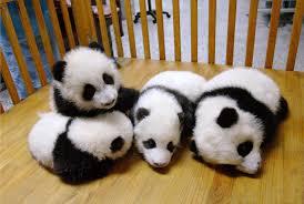 samsung backgrounds bearshigh definition panda pandas baer baby colorful cute