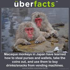 Monkey Uses Vending Machine Adorable UberFacts On Twitter Japanese Macaque Monkeys Will Steal Coins