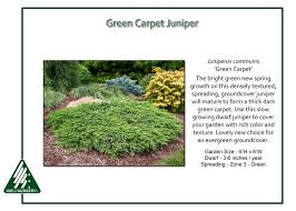 carpet juniper. juniperus communis \u0027green carpet\u0027. green carpet juniper