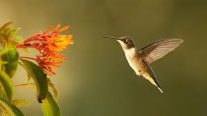 Resultado de imagem para hummingbird