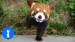 most adorable red panda cutest pilation