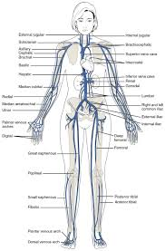 Venous Blood Flow Chart 20 5 Circulatory Pathways Anatomy And Physiology