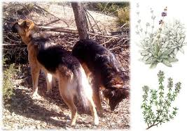 diy natural herbal flea tick mosquito repellent sprays rubs dips rinse for dogs and cats