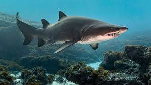 shark.  Shark Shark Attacks What Are The Most Dangerous Places In America Hereu0027s Your  Guide  ABC News For H