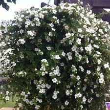 bacopa snowflake white 5 large plug plants