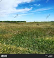 tall green grass field. Prairie Grass Field With Isolated Group Of Trees, Bright Blue Sky And White Clouds Background Tall Green