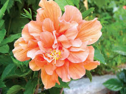 hibiscus flowers hibiscus plant that blooms all yearsaturday magazine the guardian