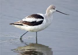 page site american avocet basic photo mike irwin