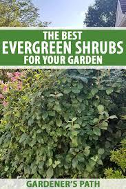 13 of the best evergreen shrubs for your garden