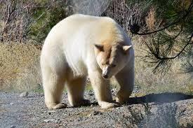 grolar bear size grolar bear facts grolar bear cubs description features