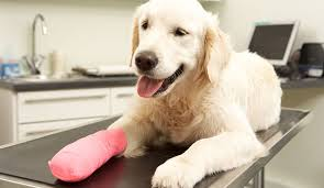 stop dog from licking wound.  Dog BigstockDogRecoveringAfterTreatment38637859 Throughout Stop Dog From Licking Wound C
