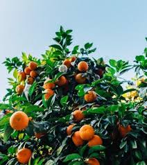 40 Different Fruits Grow On The Same Tree  KULR8com  News Different Fruit Trees