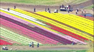 expect heavy traffic in skagit county during this year s tulip festival kiro tv