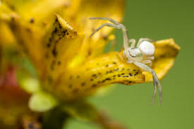 White Spiders In Oregon And Washington Ask Mr Little