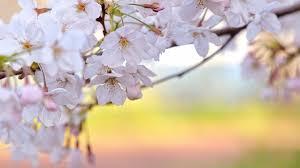 spring flowers hd desktop wallpaper