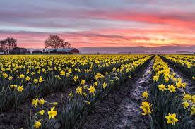 la conner daffodil festival photo winner 2016