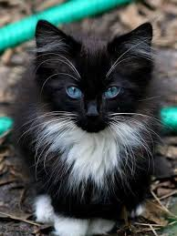 black and white kitten with blue eyes. Interesting With Awww Heu0027s So Cute Those Beautiful Blue Eyes Love His Colouring Too  A  Real Cutie Iu0027ll Take Him Anytime For Black And White Kitten With Blue Eyes L