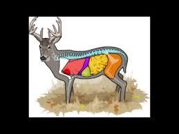 Deer Anatomy Where To Aim On A Deer Cabelas Deer Nation