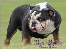 English Bulldog Price Chart English Bull Dog Colors Goldenacresdogs Com