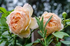 growing lady of shalott david austin rose lady of shalott via hedgerow rose 6