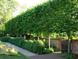 64 Best Privacy Plants Images On Pinterest  Privacy Plants Fast Good Trees For Backyard