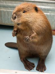 Картинки по запросу work like a beaver