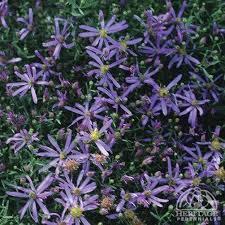 Plant Profile for Aster sedifolius 'Nanus' - Rhone Aster Perennial